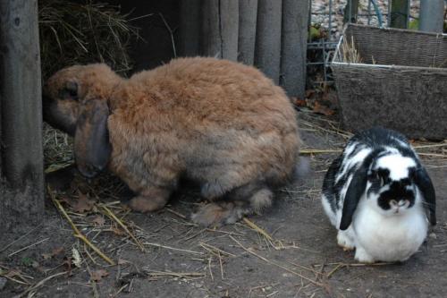 website konijnen